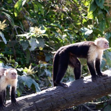 https://costaricawaterfalltours.com/wp-content/uploads/2014/05/Mangrove-monkey-tour-jaco-costa-rica1-377x377-1-377x377.jpg