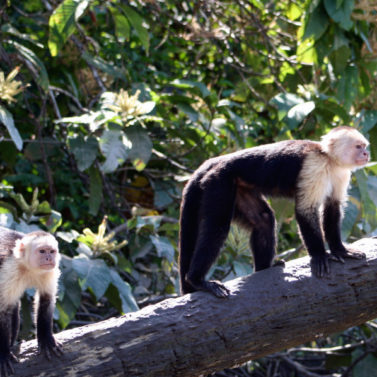 https://costaricawaterfalltours.com/wp-content/uploads/2014/05/Mangrove-monkey-tour-jaco-costa-rica1-377x377.jpg