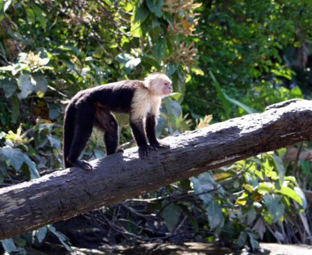https://costaricawaterfalltours.com/wp-content/uploads/2015/10/Mangrove-monkey-tour-jaco-costa-rica1-450x368.jpg