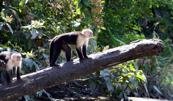 https://costaricawaterfalltours.com/wp-content/uploads/2015/10/Mangrove-monkey-tour-jaco-costa-rica1-559x327.jpg