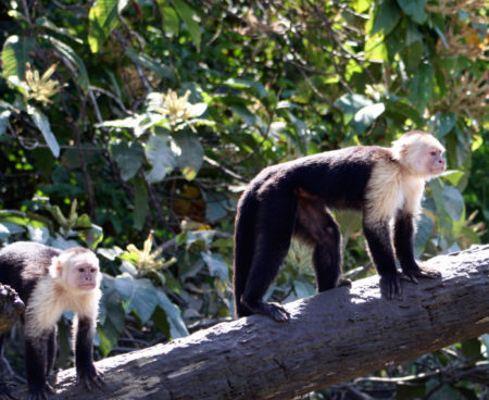 https://costaricawaterfalltours.com/wp-content/uploads/2015/10/Mangrove-monkey-tour-jaco-costa-rica3-450x368.jpg