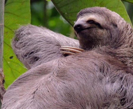 https://costaricawaterfalltours.com/wp-content/uploads/2015/10/Sloth-1-450x368.jpg