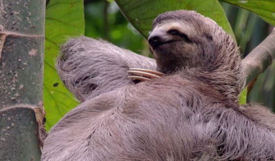 https://costaricawaterfalltours.com/wp-content/uploads/2015/10/Sloth-1-559x327.jpg